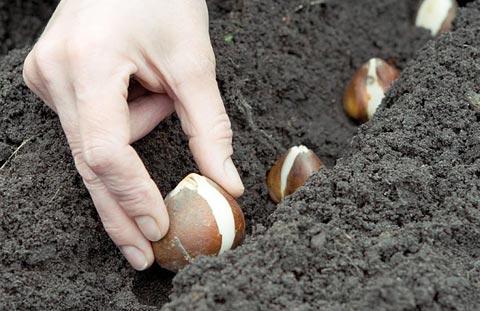 пересадка луковичных растений